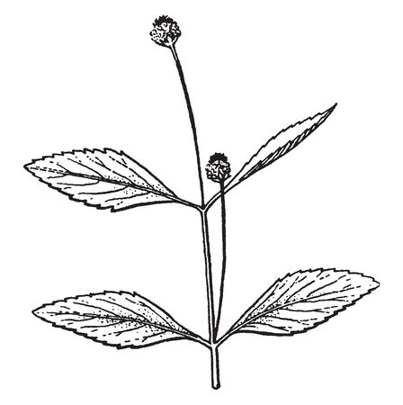 Lippia is flowering plant and it is fragrant due to their essential oils. Leaves are oval shaped, vintage line drawing or engraving illustration.