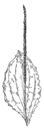 A picture of Black seed Plantain. This perennial herb grows from a taproot and fibrous root system, vintage line drawing or engraving illustration.