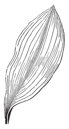 This is a leaf of Lily of the Valley plant. Leaves are broad and oblong shaped, vintage line drawing or engraving illustration.