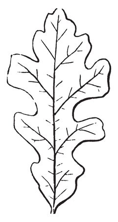 A image of Lobed Leaf. The lobes are blunt rounded. The leaf-margin is serrated, vintage line drawing or engraving illustration. Ilustrace