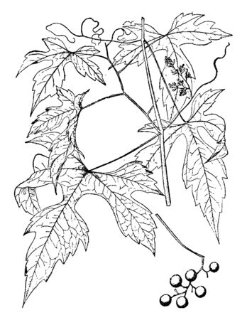 A picture, that's showing a Vitis Rubra. This is from Vitaceae family and has compound leaves. Branch is very thin, vintage line drawing or engraving illustration.