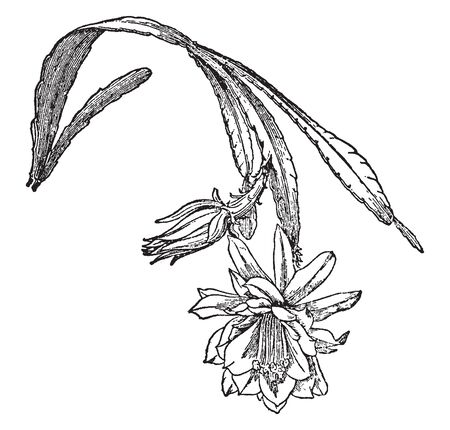 This is image of branch of phyllocactus which has flat stems, deeply lobed, the lobes rectangular to obtuse, vintage line drawing or engraving illustration.