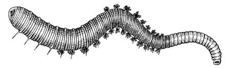 Lugworm is a large marine worm of the phylum Annelida, vintage line drawing or engraving illustration.