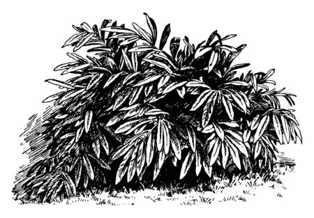 A picture shows Alpinia Mutica Plant. Leaves are small, long, plain-edges and short stalked. Flower has white colored outer segment and bright yellow lip is veined with crimson, vintage line drawing or engraving illustration.