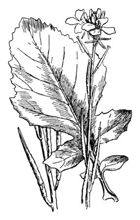 Picture contains a leaf of Black Mustard plant. Plant is native to tropical regions of North Africa, vintage line drawing or engraving illustration.
