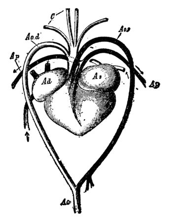 Heart and Blood Vessels of a Turtle has left arch of the aorta and dorsal aorta, vintage line drawing or engraving illustration. Stockfoto - 132866528