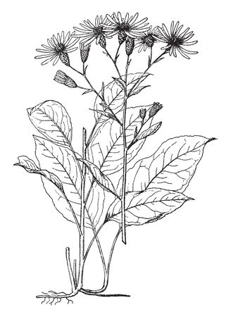 Aster Herveyi Leaf Grows on Stem. The firms leaves are rusty, and stem are straight gone, vintage line drawing or engraving illustration.