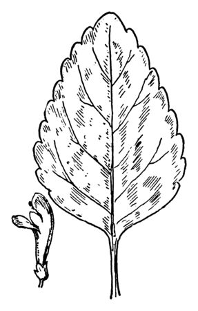 A picture shows the S. pilosa Skullcap leaves and flower. Its leaves are flat, narrow, cleft or recess between two lobes and flower are purple, bell shaped, pistil at lower end of flower, vintage line drawing or engraving illustration. Ilustração
