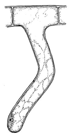 A picture showing apex of the hair root flattened and incrusting soil particles, vintage line drawing or engraving illustration.