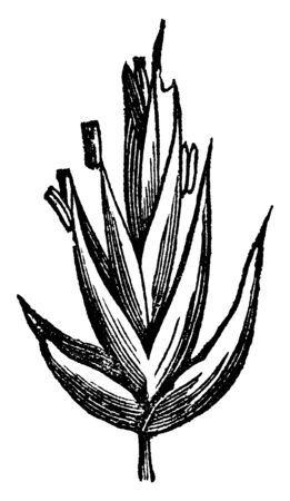 This picture showing of orchard grass, flowers are grown on upper side of branch, vintage line drawing or engraving illustration. Ilustração