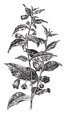 There are two branches in the picture and there are leaves, flowers on it. The ovate shaped leaves and bell shaped flower and fruit are berries, vintage line drawing or engraving illustration.