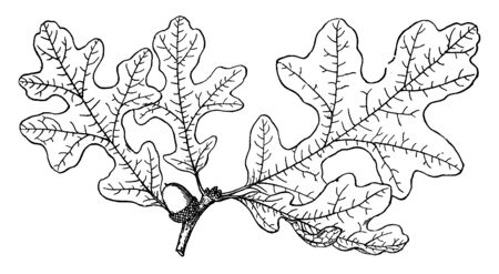Picture shows the branch of Quercus Hypoleuca. It is the silver leaf oak is a North American species of trees or shrubs in the beech family. Its leaves are dark green on top but silver white on the, vintage line drawing or engraving illustration.