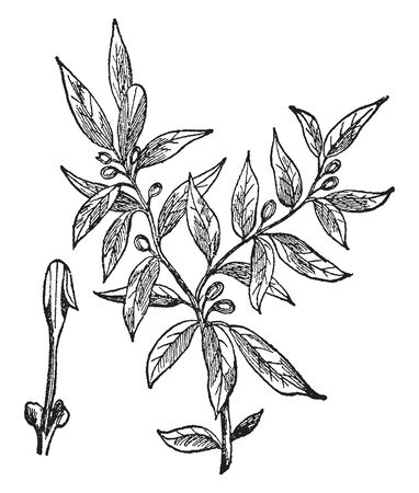 Laurel grandiflora is a medium to large evergreen tree which may grow sixty feet in height. It typically has a single stem and a pyramidal shape, vintage line drawing or engraving illustration. Illustration