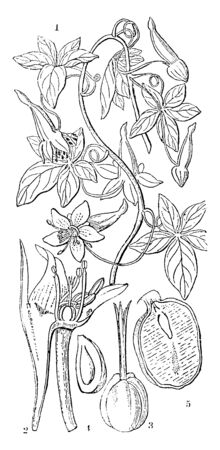 Chymocarpus pentaphyllus; 2. A longitudinal section of flower; 3. Ovary of the tropolum mujus; 4. A vertical section of a carpal, showing the position of the egg; 5. A direct part of the seed, vintage line drawing or engraving illustration.