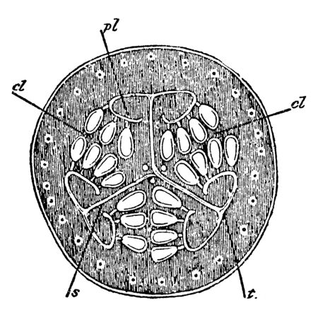 This picture belongs to the inside of the watermelon, in its cross-sectional view they have seeds associated and are from different substances, vintage line drawing or engraving illustration.