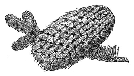 This picture represents a Pine Cone of Red Fir which is known as Abies Magnifica & found in western North America, vintage line drawing or engraving illustration.