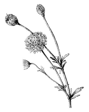This is a flower of Trachymene Caerulea and it is genus of Trachymene. Flowers have curving stems with fine, deeply lobed leaves, vintage line drawing or engraving illustration.