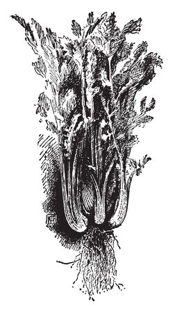This is image of Boston Ideal Celery. It has a much branched base, vintage line drawing or engraving illustration. 向量圖像