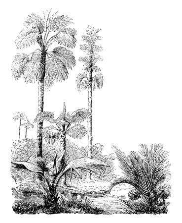 A picture of Corypha Gebanga & Nipa fruiticans palm trees beyond the river, vintage line drawing or engraving illustration.
