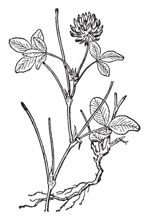 A picture shows Alsike Plant. Leaves are small, plain-edges & have fine lines on the green leaves and flowers are pale pink in color. Alsike will grow on wetter and more acidic soils than red clovers, vintage line drawing or engraving illustration.