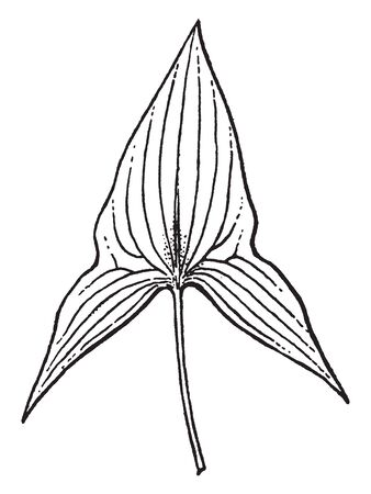 This picture is showing an Alismaceae leaves. It is triangle shaped. Stalk is thin and rounded, vintage line drawing or engraving illustration. 向量圖像