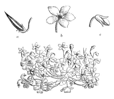 Oxalis Corniculata flowers are yellow and expanded, vintage line drawing or engraving illustration.