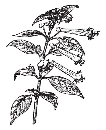 Cuphea Ignea plant is a subshrub, native to Mexico that grows to about 3 ft. tall with a similar spread. The leaves are lance shaped or narrowly elliptical and dark green, vintage line drawing or engr