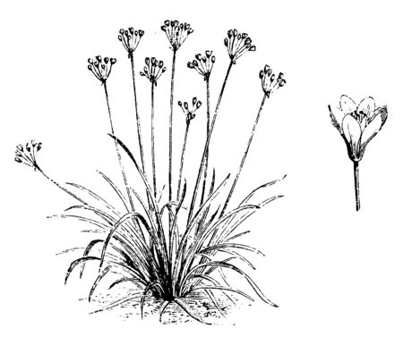 This is the image of Nothoscordum fragrans flowers. The flowers are very fragrant, vintage line drawing or engraving illustration.