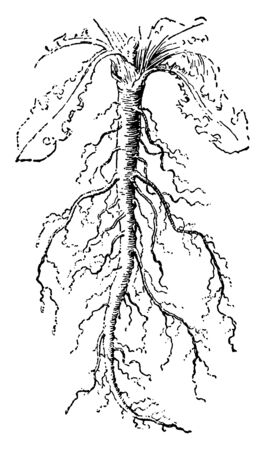In this image showing a taproot. it is straight and very thick, is tapering in shape, and grows directly downward, vintage line drawing or engraving illustration.