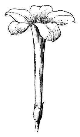 Eine Illustration der Jasminblüte, die eine salbenförmige Krone, eine Vintage-Linienzeichnung oder eine Gravurillustration hat.