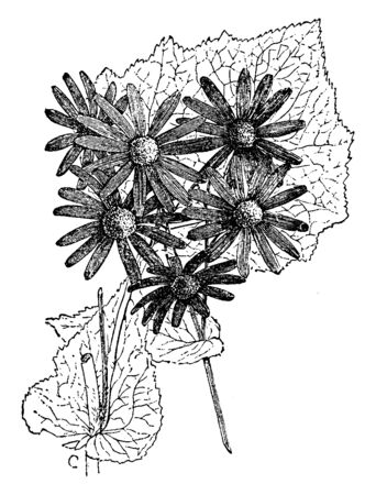 Senecio is a genus of the daisy family. The flower heads are normally rayed with the heads borne in branched clusters, and usually completely yellow, vintage line drawing or engraving illustration.