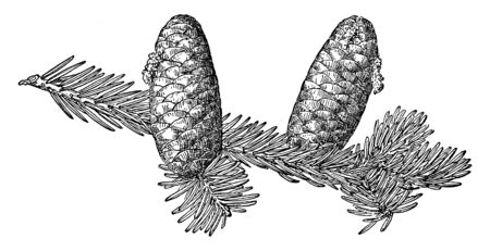 This picture is showing Pine Cone of Rocky Mountain Fir known as Abies Lasiocarpa found in western North American fir, vintage line drawing or engraving illustration. Banco de Imagens - 132857663