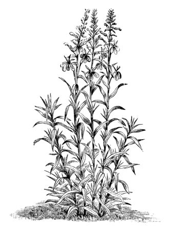 A North American plant that bears a spike of brilliant red flowers, vintage line drawing or engraving illustration. Иллюстрация