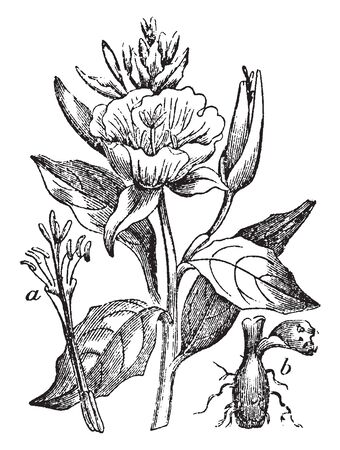 A picture is showing Evening Primrose. It native to America, belongs to Onagraceae family. This is: a, flower divested of calyx and corolla, to show the parts or fructification; b, tuberous root, vintage line drawing or engraving illustration. Ilustrace