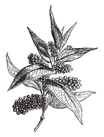 Piper Cubeba, cubeb or tailed pepper is a plant in genus Piper, cultivated for its fruit and essential oil. Cubeb was used in ancient China as a medicine, vintage line drawing or engraving illustration. Illustration