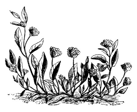 Abronia Umbellata plants grow better in sandy soils. Plants grow closer to the ground, small groups of circular flowers grow, vintage line drawing or engraving illustration.
