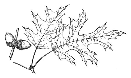 A picture of Branch of Northern Pin Oak. It is also called as Quercus Ellipsoidalis, which is native from northern Midwest United States, vintage line drawing or engraving illustration. Иллюстрация