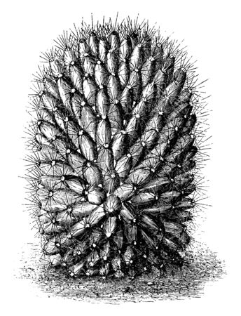 A picture showing the plant of Mammillaria Dolichocentra. Mammillaria dolichocentra is a cactus with pale rose or reddish crimson flowers, vintage line drawing or engraving illustration.