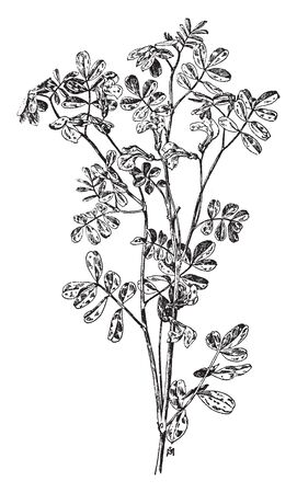 The flowers of Coronilla Emerus grow and its trees are dense. The color of the flowers is yellow; this tree grows up to 3-5 feet, vintage line drawing or engraving illustration. Ilustração
