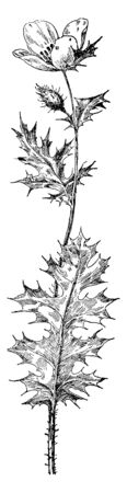 This is a picture of Prickly Poppy plant. Its leaves and stem are thorny. The color of its flower is yellow and white, vintage line drawing or engraving illustration.