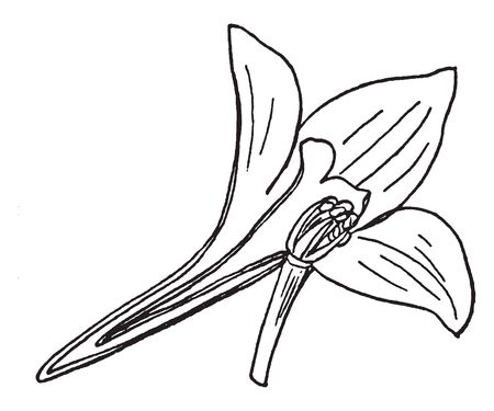 This is an image of Lakspur flower. The flower has three petals and lower part is narrow, vintage line drawing or engraving illustration.