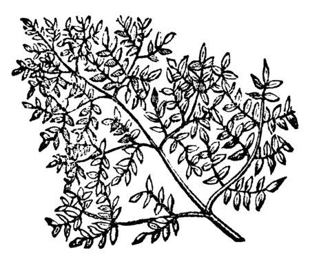 This is an image of tripinnate. Tripinnate leaf is a leaf with triple the amount of feather-like leaves, vintage line drawing or engraving illustration.