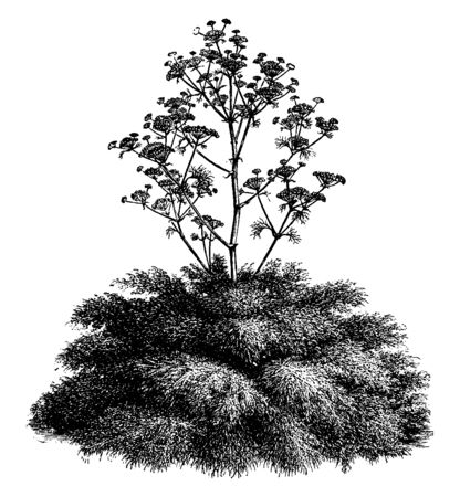 A picture is showing Ferula Communis, commonly known as Giant Fennel. It belongs to carrot family Apiaceae. This is a tall herbaceous perennial plant. Its flowers are yellow, vintage line drawing or engraving illustration.