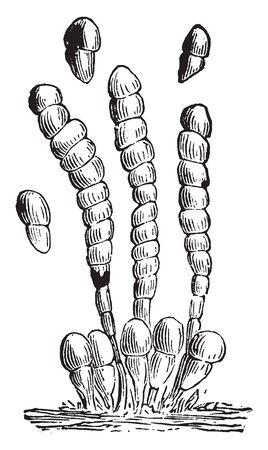 Hyphomycetes is a form of fungi which occured on Clover.Its threads and spores are enlarged, vintage line drawing or engraving illustration. Çizim