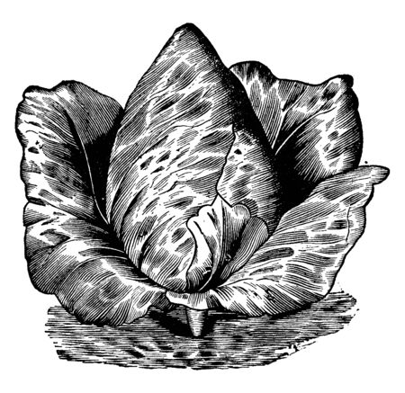 In this picture there is Rawsons Volunteer. This cabbage is like cone and their leaves are growing in very compact form, vintage line drawing or engraving illustration.