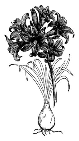 A picture shows Amarylis Belladona Plants.The belladonna lily can also be grown in large pots using a very porous soil mix. The leaves and stem of the lily causing the flowering stem to collapse, vintage line drawing or engraving illustration. Иллюстрация