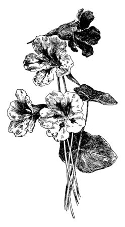 Tropaeolum Majus is a flowering plant in the family Tropaeolaceae, originating in the Andes from Bolivia north to Colombia. It is red color flowers, vintage line drawing or engraving illustration.