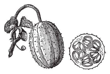 It is a thorny cucumber, there are seeds within this cucumber, they attach to stem, vintage line drawing or engraving illustration.