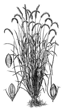 The crop is very dense, it grows in the lower side and spreads to the upper side, the upper side has a lot of grain and it is tilted, vintage line drawing or engraving illustration.