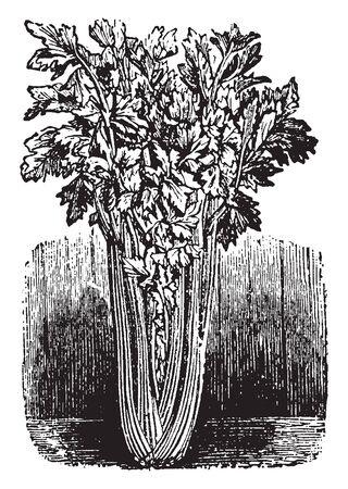 Celery is a genus of parsley. It is mostly used for salads, vintage line drawing or engraving illustration.